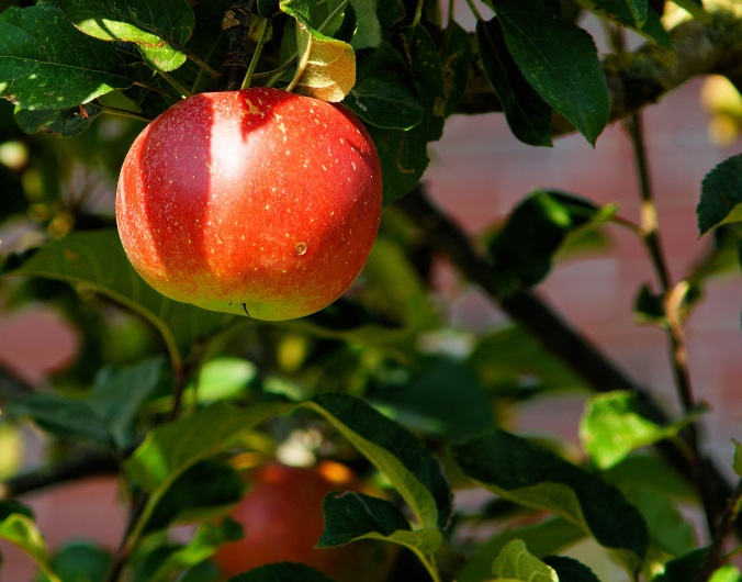 Apple Tree.jpg